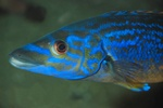 Cuckoo wrasse, Striped wrasse (Labrus mixtus)